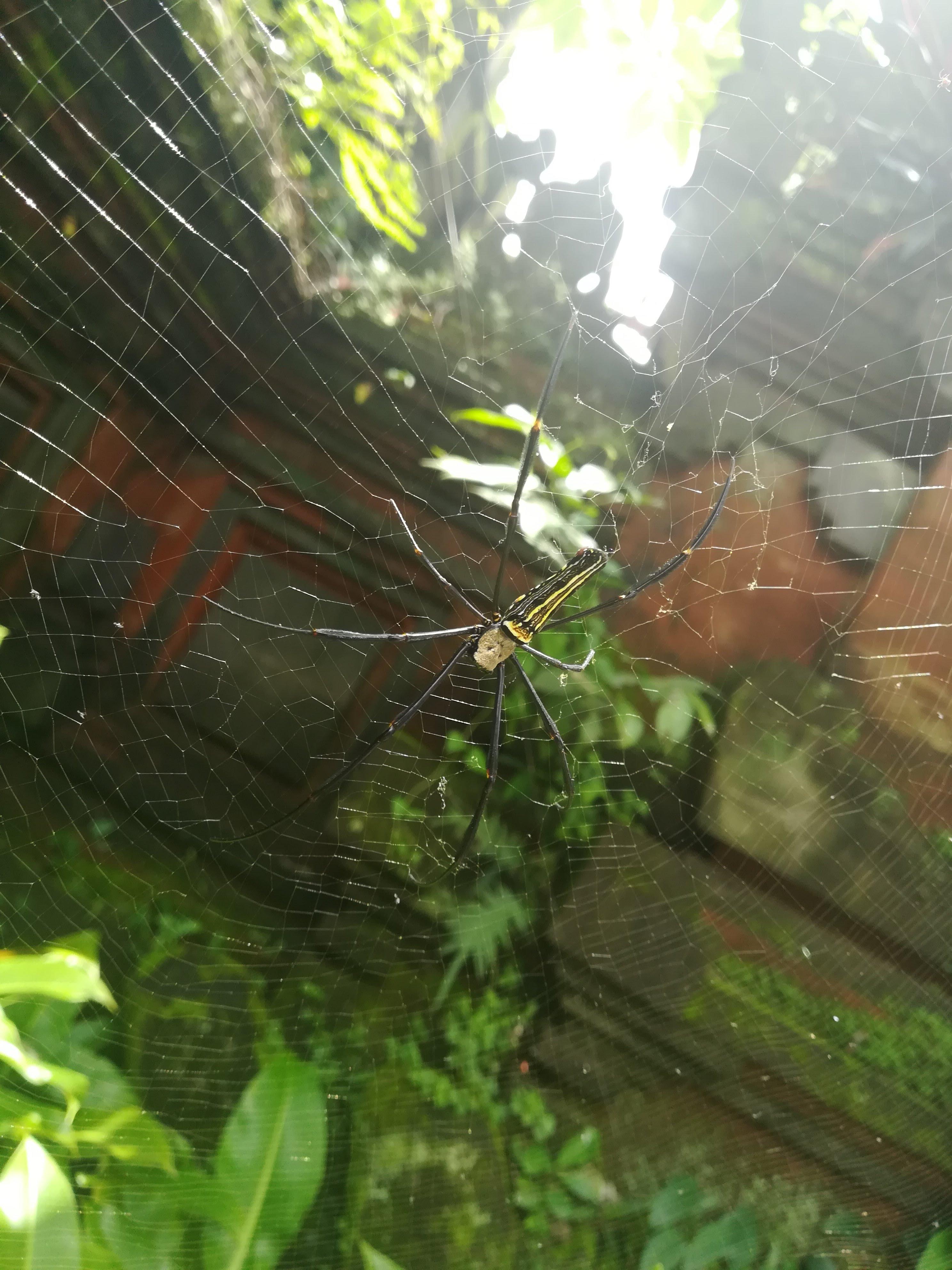 araña indonesia